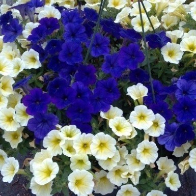 Petunia White Oak Gardens Cincinnati Oh