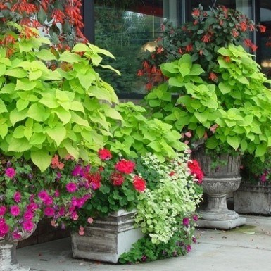 how to grow a sweet potato vine in the house