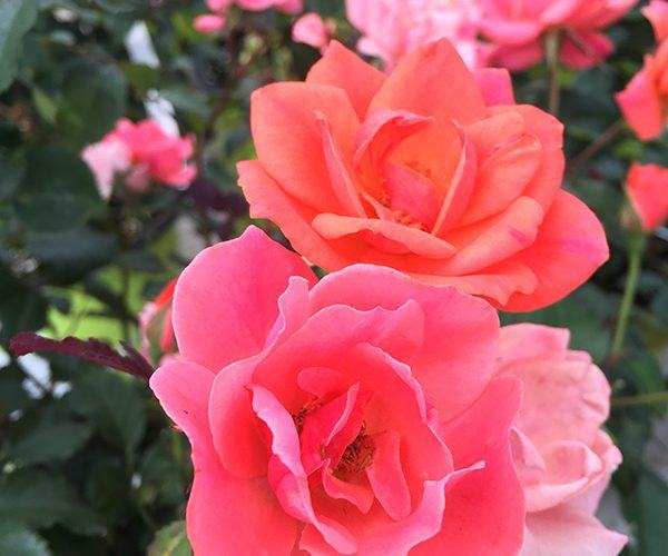 coral knockout rose