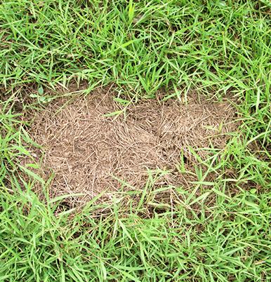 Grass rejuvenation