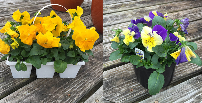 pansies-packs-pot