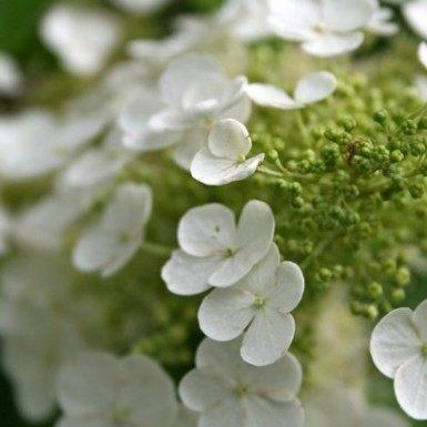 Oakleaf Hydrangea White Oak Gardens Cincinnati Oh