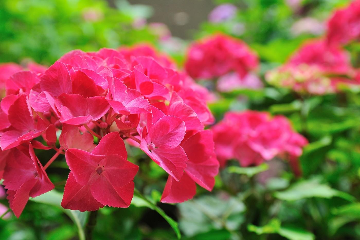 Red Sensation Hydrangea White Oak Gardens Cincinnati Oh