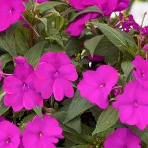 sunpatiens-neon-pink