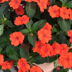 sunpatiens-orange