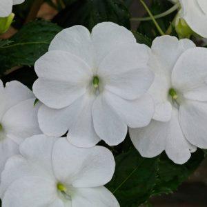 sunpatiens-white