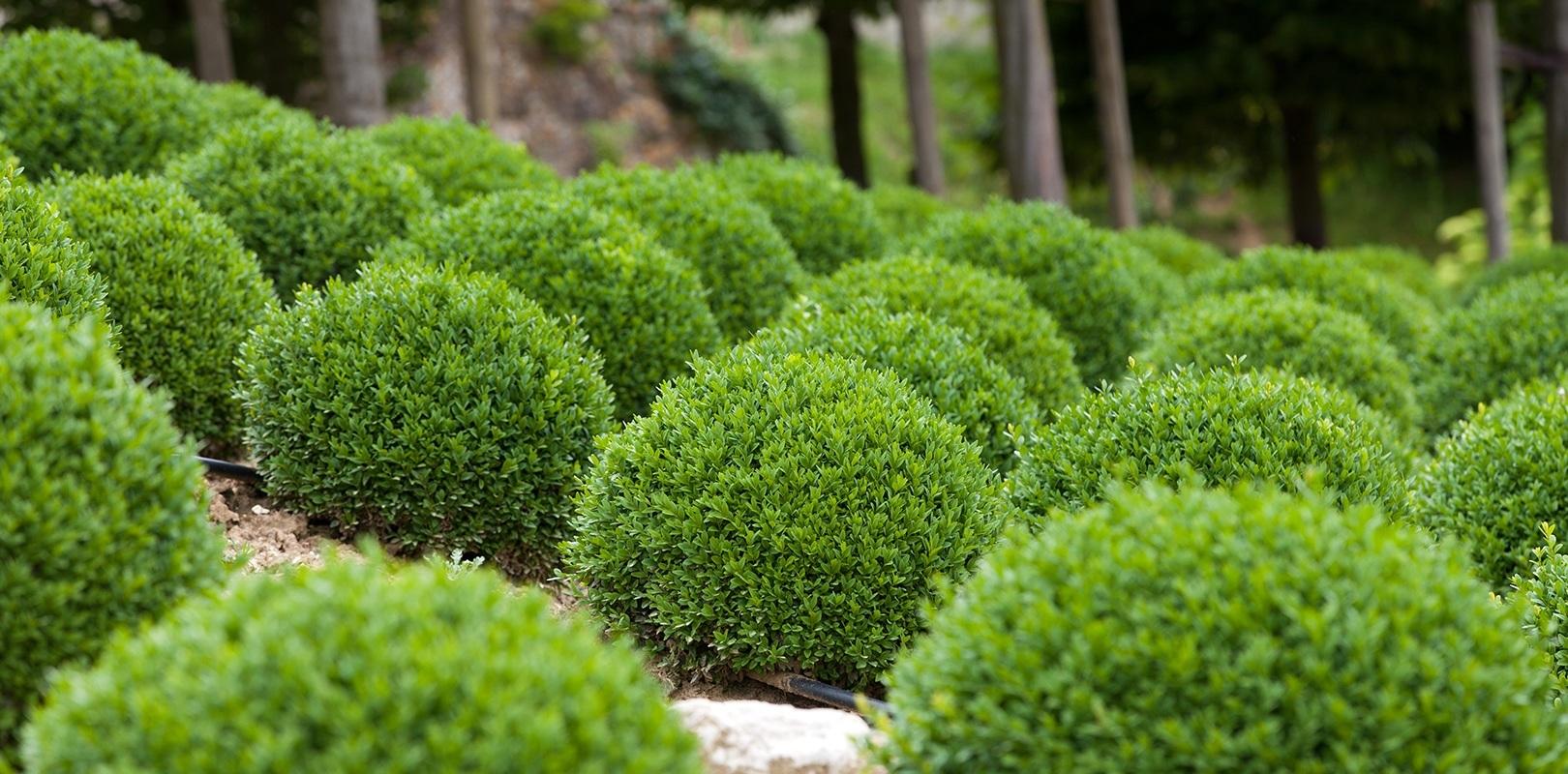 Green velvet boxwood white oak gardens cincinnati oh for Garden shrubs