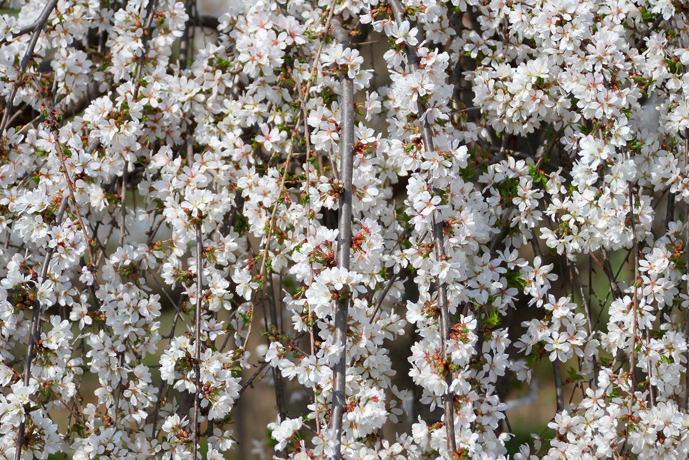 Snow Fountain Weeping Cherry White Oak Gardens