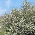 Autumn Brilliance® Serviceberry