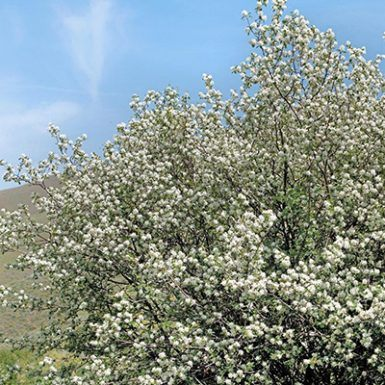 Autumn Brilliance 174 Serviceberry White Oak Gardens