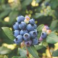 Blueberry Bushel and Berry