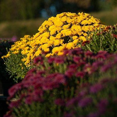 Mums White Oak Gardens Cincinnati Oh