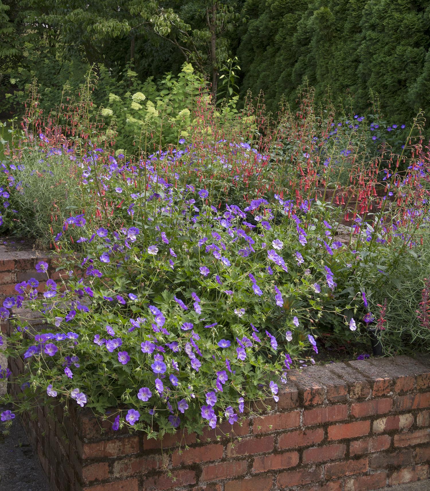 Geranium Rozanne3 White Oak Gardens Cincinnati Oh
