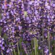 Lavender 'Hidcote Blue'