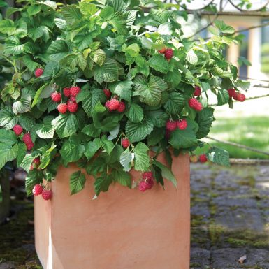 Raspberry Bushel and Berry
