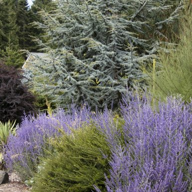 Russian Sage 'Lacey Blue'