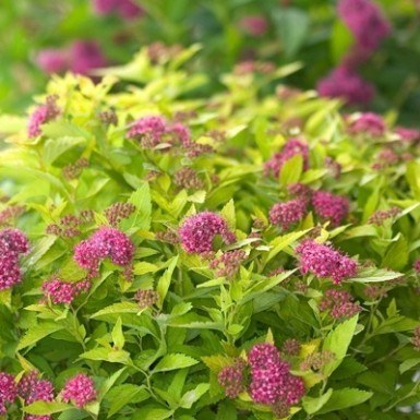 Dakota Goldcharm Spirea