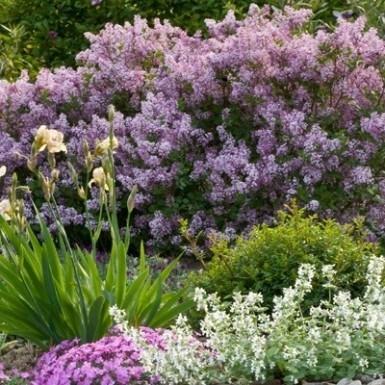 Dwarf Korean Lilac White Oak Gardens Cincinnati Oh