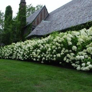 Limelight Hydrangea White Oak Gardens Cincinnati Oh