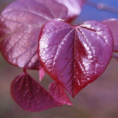Burgundy Hearts Redbud