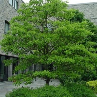 Sweetbay Magnolia White Oak Gardens Cincinnati Oh