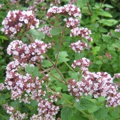 Oregano 'Kent's Beauty'