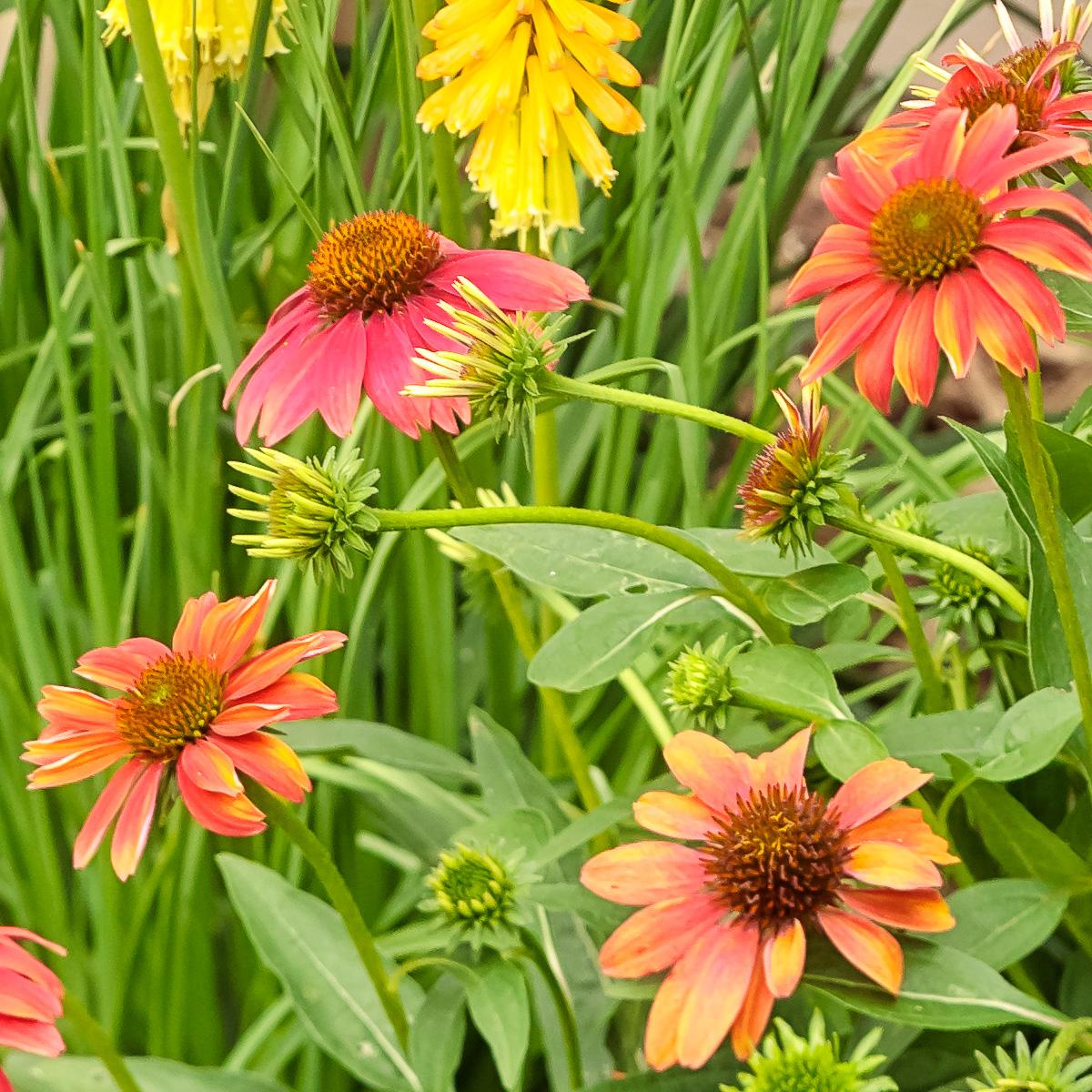 Echinacea Cheyenne Spirit White Oak Gardens Cincinnati Oh